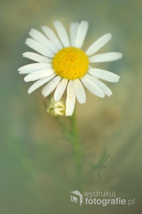 Jastrun właściwy lub złocień właściwy,gatunek rośliny należący do rodziny astrowatych.