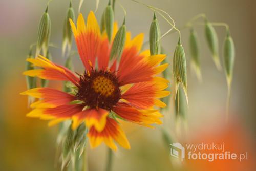 Piękny ogrodowy kwiat.
