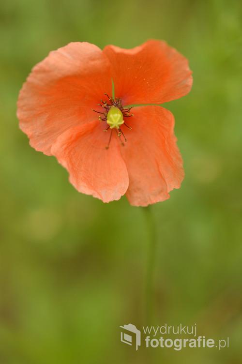 Polny kwiat.