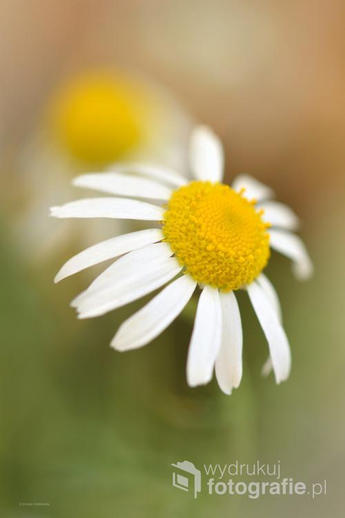 Piękny łąkowy kwiatek.