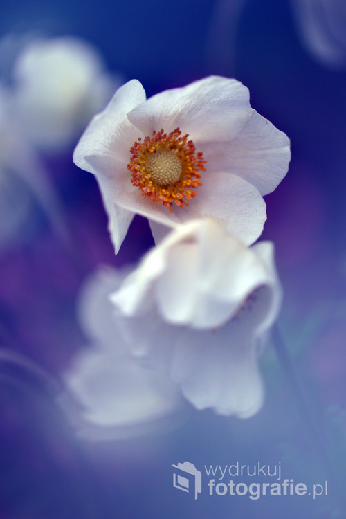 Kwiat ogrodowy