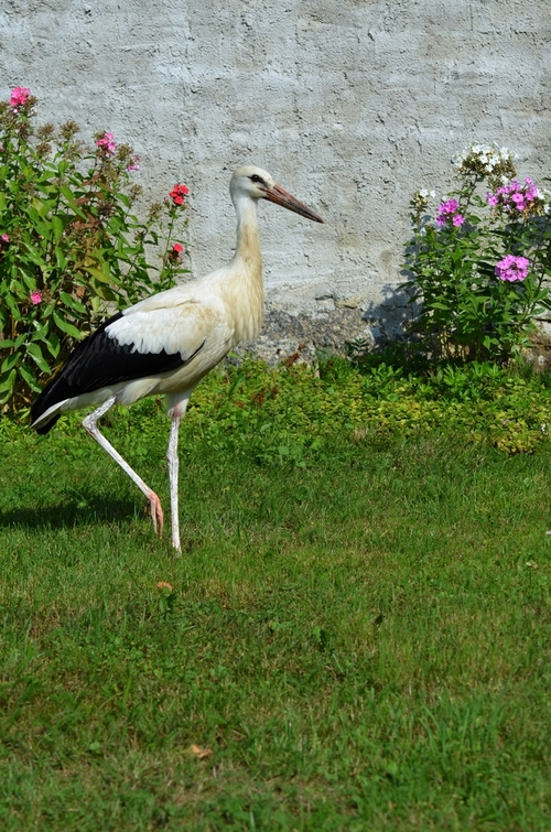 bocian znajdujący się  w ogrodzie na trawniku stojący na jednej nodze
