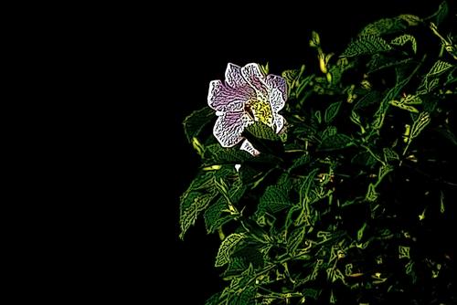 kwiat dzikiej rożny na czarnym tle