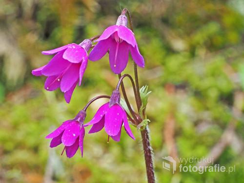 Rzadka roślina tatrzańska kwitnąca w maju i czerwcu