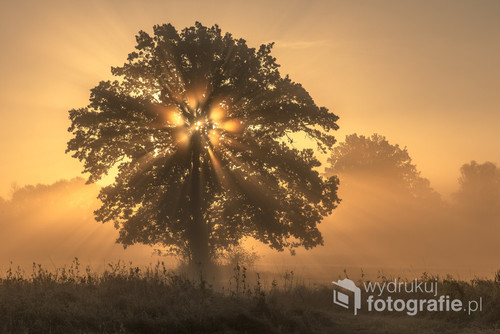 Ukryte za drzewem wschodzące słońce podczas mglistego poranka.