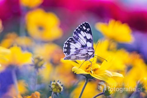 Czarno-biały motyl ładnie kontrastuje z barwnymi kwiatami