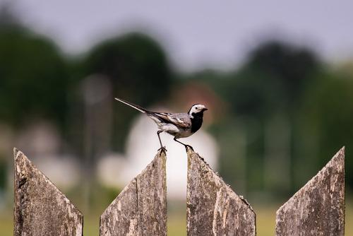 Pliszka siwa - najpospolitszy ptak żyjący w Europie. Ta jednak bardzo polubiła mój obiektyw, przez 10 minut ustawiała się do niego w różnych pozycjach. No i ostatecznie wyszło coś takiego.