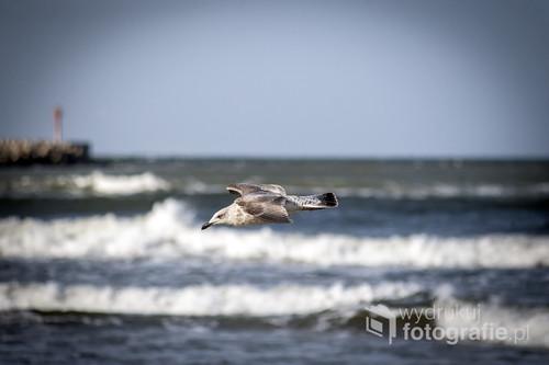 Samotna mewa przelatuje nad plażą morską w Ustce