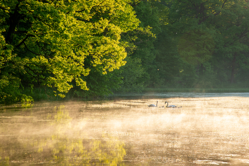 Na zdjęciu para łabędzi z młodymi w porannej mglistej scenerii.