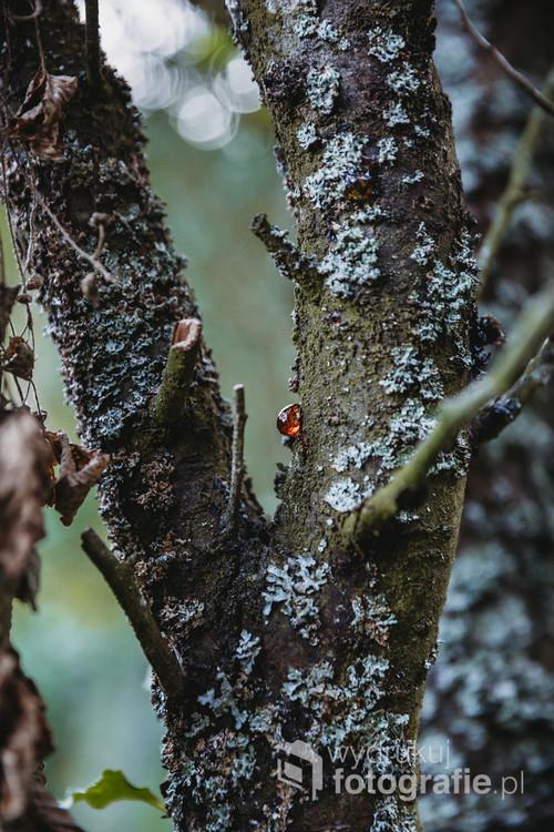 Żywica na drzewie - macro