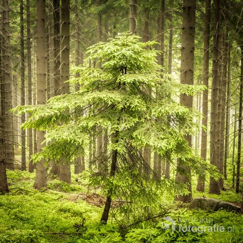 Schodząc ze Śnieżnych Kotłów już poniżej schroniska pod Łabskim Szczytem wśród wysokich drzew stała mała choineczka która pomimo niewielkich rozmiarów od razu przykuła moją uwagę. Z całego lasu to właśnie ona wyłaniania się na pierwszy plan.