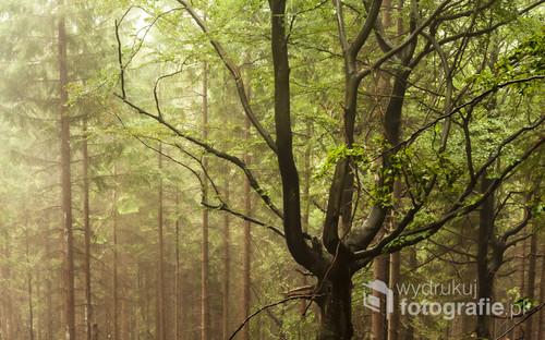 Pięknie prezentujący się las w czasie deszczu. Zdjęcie wykonane podczas powrotu ze Śnieżnych Kotłów przed pośrednią stacją wyciągu na Szrenicę.