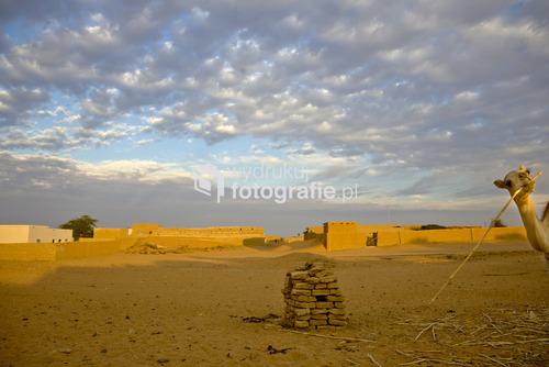 Wielbłąd zaglądający w kadr o świcie w okolicach wsi Banganarti, Sudan