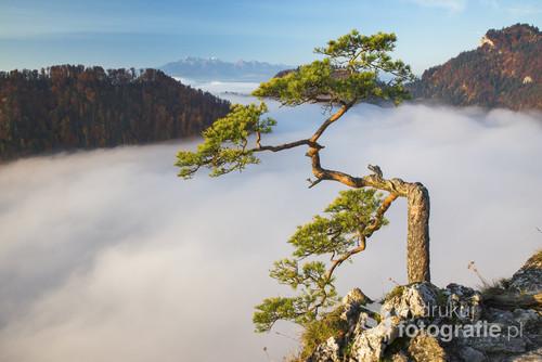 Poranne morze mgieł pod najsłynniejszą sosną w Polsce - Sokolica, Pieniny.