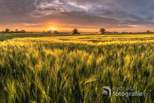 Zdjęcie zrobione podczas zachodu słońca, kiedy to promienie podświetlały kłosy jęczmienia.