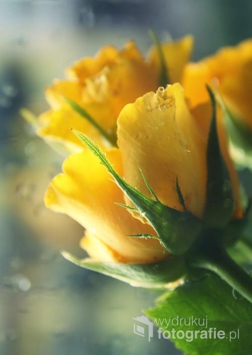 Wiosna 2017  Żółte róże w promieniach słońca