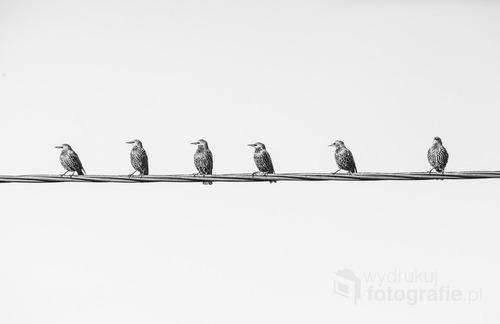 Kampinos, 2014. Ptaki zbierają się jesienią w większe grupy i szykują do odlotu na zimę do ciepłych krajów. Zdjęcie pochodzi z serii