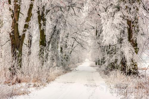 Zdjęcie przedstawia aleje lipową niedaleko mojego domu, która jest pomnikiem przyrody a tu dodoatkowo jej atuty i piękno wydobyła zima .