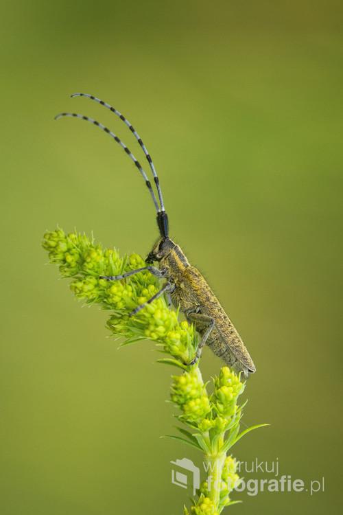 Zgrzytnica zielonawa -chrząszcz z rodziny kózkowatych pojawiający się wiosną. Jego błękitno*czarne czułki pięknie kontrastują na tle soczystej wiosennej  zieleni