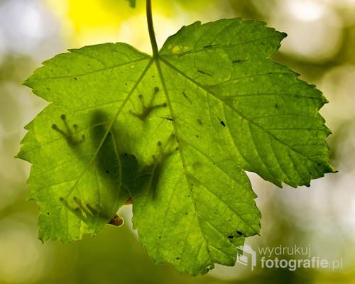 Rzekotka drzewna na liściu klonu, w towarzystwie mszyc